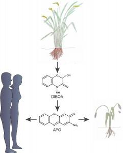 """DE: """"Manche Pflanzen greifen ihre Nachbarn an, um sich Wachstumsvorteile zu verschaffen. Dazu geben sie über ihre Wurzeln chemische Stoffe ab, z.B. DIBOA, die im Boden umgewandelt werden können. Toxine, die dabei entstehen, in diesem Beispiel dargestellt durch APO, dringen in die Wurzeln von Nachbarpflanzen ein und hindern diese am Wachstum. Manche dieser pflanzlichen Giftstoffe sind aber auch für die medizinische Forschung interessant und werden derzeit auf ihre Wirksamkeit in der Krebstherapie untersucht."""""""