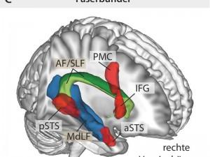 Dorsaler und ventraler Pfad in der rechten Hemisphärefür die Prosodie-Wahrnehmung. © MPI f. Kognitions- und Neuroswissenschaften/ Sammler