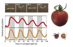 Domestizierung verlangsamt die innere Uhr der Tomate. Die Blätter von Tomatenkeimlingen zeigen rhythmische Bewegungen unter konstanten Umweltbedingungen. Diese Bewegungen werden von der zirkadianen Uhr gesteuert. Die zirkadianen Blattbewegungen der kultivierten Tomatenvarietäten (rot) sind deutlich langsamer als die Bewegungen der wilden Vorfahren (orange). © Niels Müller