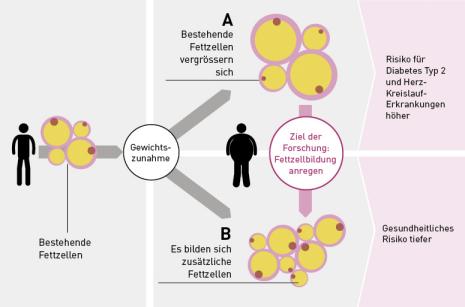 Bei einer Gewichtszunahme gibt es zwei Szenarien: Entweder wird das zusätzliche Fett in bestehende Fettzellen aufgenommen, die dadurch grösser werden (A), oder es bilden sich zusätzliche Zellen (B), die das Extrafett unter sich aufteilen können. Etwa 20 Prozent der Übergewichtigen sind gesund und haben kleinere Fettzellen. (Grafik: www.tnb.ethz.ch/research/adipofunc, Crafft)