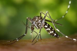 Asiatische Tigermücke Aedes albopictus. © gemeinfrei.