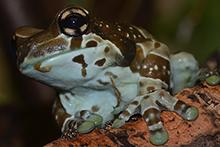 Der Baumhöhlen-Krötenlaubfrosch lebt im Regenwald Südamerikas auf Bäumen. © AG Funktionelle Morphologie und Biomechanik
