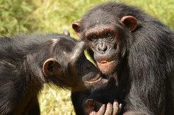 Auch bei Freundschaften zwischen Schimpansen spielt Vertrauen eine wichtige Rolle. © E. Herrmann