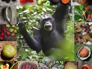 Weiblicher Schimpanse beim Verzehr von Grewia-Früchten sowie eine Auswahl von Regenwaldfrüchten, die von Schimpansen in Uganda, der Elfenbeinküste und Gabun verspeist werden. © K. Janmaat, S. Metzgar, M. Colbeck, Z. G. Bi, J. Head