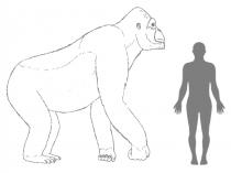 Geschätzte Größe von Giganthopithecus im Vergleich zu einem Menschen. © H. Bocherens