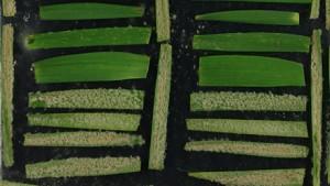Die Forscher sammelten verschiedene Mehltauformen © UZH