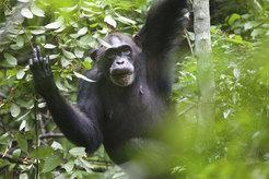 Weiblicher Schimpanse beim Verzehr von Grewia-Früchten. © M. Colbeck