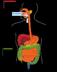 Menschliches Verdauungssystem. © public domain.