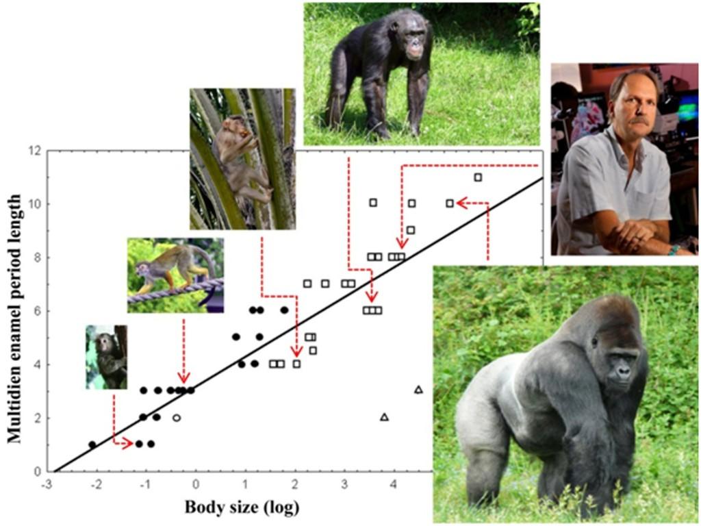 Je größer ein Primat ist, desto länger sind auch die Abstände der charakteristischen multidien Rhythmen im Zahnschmelz. © Senckenberg/Bromage
