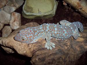 Geckos besitzen intern gekoppelte Ohren: Leuchtet man einem Gecko in das eine Ohr, tritt der Lichtstrahl aus dem anderen Ohr wieder heraus. © Robert Michniewicz. CC BY-SA 3.0