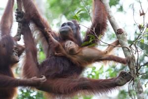 """Orang-Utans im Camp Leakey tragen ein """"Gen-Cocktail"""" in sich, der in freier Wildbahn unter normalen Umständen nicht vorkommen würde. © Graham L. Banes"""