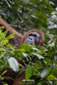Die Orang-Utans auf Sumatra sind durch den Verlust ihres Lebensraums bedroht. © Perry van Duijnhoven