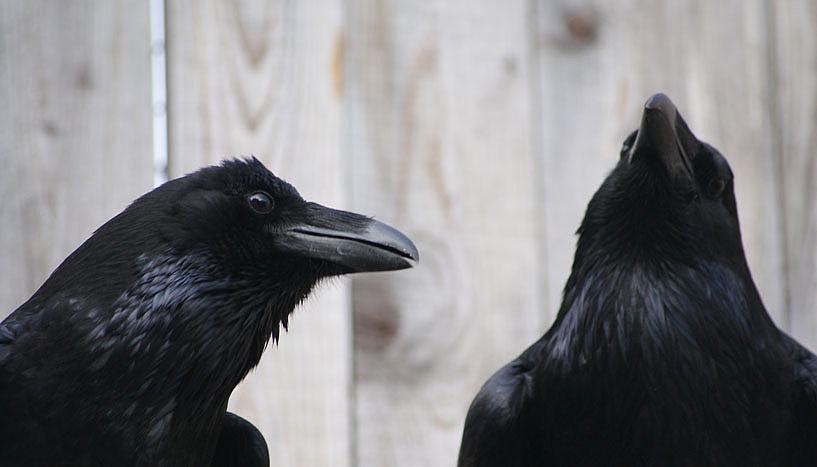 m Vergleich zu Säugetieren besitzen Vögel eine recht unterschiedliche Hirnstruktur - dennoch sind sie in der Lage komplexe Aufgaben zu meistern © Jorg J.M. Massen.