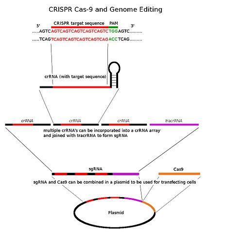 Anwendung von CRISPR_Cas9 in der Biotechnologie © Nielsrca. CC BY-SA 4.0.