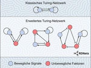 Modell eines klassischen Turing-Netzwerks im Vergleich zu erweiterten Turing-Netzwerken, die mit der Software RDNets untersucht werden können. Im Hintergrund: ein sich selbst organisierendes verschlungenes Turing-Muster, das mit der Software simuliert wurde. © MPI f. Entwicklungsbiologie/ Müller