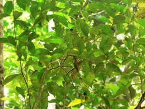 Reife und unreife Früchte eines tropischen Baumes (Leonia cymosa) an der DPZ-Feldstation in Peru. Aktuelle Studien haben gezeigt, dass Klammeraffen am Geruch der Früchte den Reifegrad erkennen können. Affen breiten die Samen dieser und anderer Pflanzen über ihren Kot aus. © Adrian Reinehr