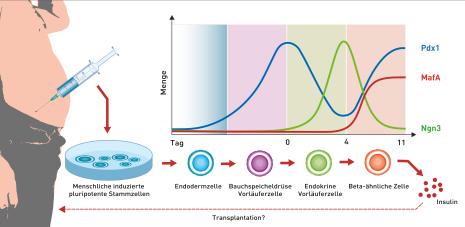 Die Reifung von induzierten pluripotenten Stammzellen in Beta-ähnliche Zellen hängt wesentlich vom Verlauf der drei Wachstumsfaktoren Pdx1, MafA und Ngn3 ab. © ETH Zürich
