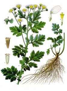 Mutterkraut. (Tanacetum parthenium). © gemeinfrei.