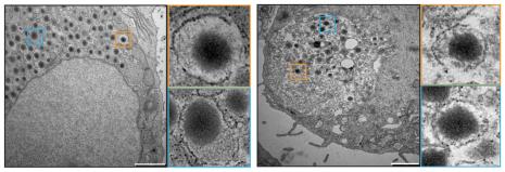 Vergleich von natürlichen (links) und künstlichen Beta-Zellen. © Saxena et al., Nature Comm., 2016