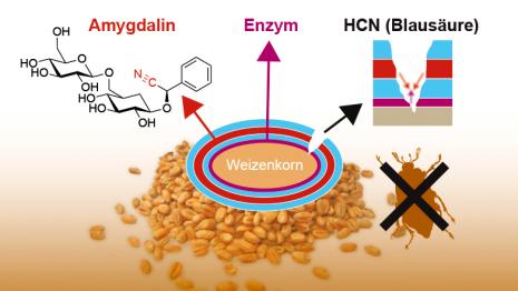 Mehrere Schichten Polylactat umgeben ein Weizenkorn. In der innersten Schicht ist ein Enzym eingebettet. Die mittleren Schichten enthalten Amygdalin. Setzt ein fressendes Insekt die Substanzen frei, baut das Enzym Amygdalin zu Blausäure ab. Diese schwächt oder tötet die Insektenlarven. (Grafik: ETH Zürich)