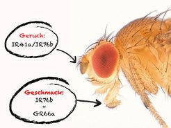 Jeweils zwei Rezeptoren ermöglichen es der Fruchtfliege, die überlebenswichtigen Polyamine in der Nahrung aufzuspüren. © MPI f. Neurobiologie/ Gompel