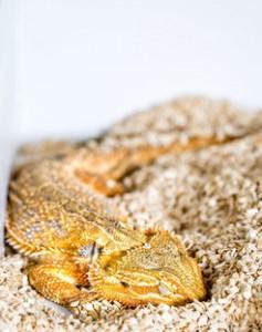 Schlafende Bartagame (Pogona vitticeps). © MPI f. Hirnforschung/ S. Junek
