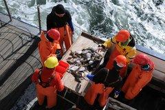 Wissenschaftler untersuchen Fischbestände. Eine neue Studie fordert die Aussetzung einer Zertifizierung mit Ökolabels von überfischten Beständen. © GEOMAR.