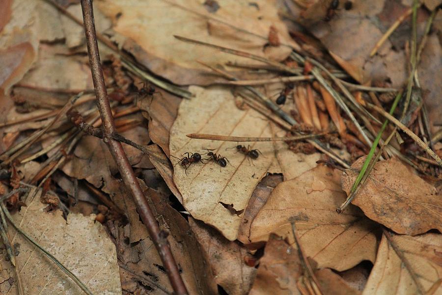 Ameisen in der Laubstreu, Nationalpark Hainich-Dün, Deutschland © Ilka Mai, Biodiversitäts-Exploratorien