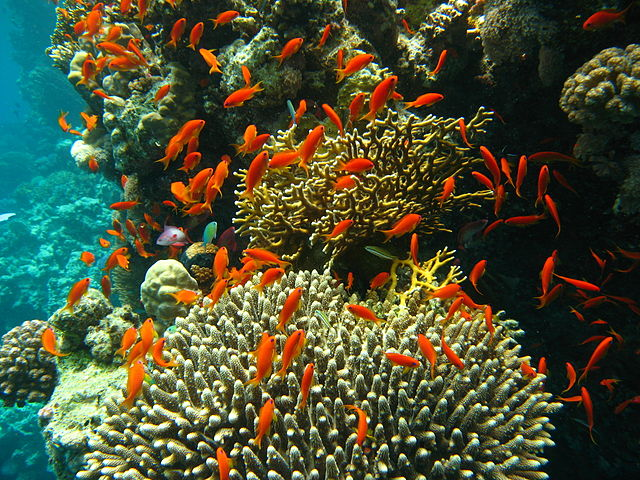 Gesunde Korallen bei Port Ghalib, Ägypten, März 2006 © J. Hutsch. CC BY-SA 3.0. Wikimedia Commons.