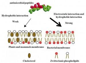 Mechnismus der Selektivität mikrobieller Peptide.