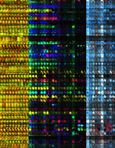 Aktive Nervenzellen der visuellen Großhirnrinde der Maus bei veränderten Sinneseindrücken. Die Bilder einer Reihe zeigen jeweils eine einzige Nervenzelle. Jedes Teilbild eines Farbblocks entspricht einer Untersuchung (insgesamt 10) über 2 Monate hinweg: Die Teilbilder des linken Blocks (gelb/rot) zeigen die Struktur einer Nervenzelle. In den mittleren beiden Blöcken entsprechen die Farben der Stärke der Antwort einer Zelle auf Sehreize unterschiedlicher Orientierung. Der zweite Block repräsentiert das Auge, das der untersuchten Hirnhälfte gegenüber liegt (hier: das linke Auge). Der dritte Block entspricht dem rechten Auge. Der rechte Block (blau/rot) stellt die relative Antwortstärke der Zellen bei der Stimulation des dominanten linken (kontralateral) relativ zum rechten Auge (ipsilateral) dar (kontralaterale: blau, ipsilaterale: rot, binokulare Dominanz: weiß). Nach Verschluss des linken kontralateralen Auges nach der 3. und 7. Untersuchung reagieren einige Zellen auf das offengebliebene Auge stärker und erscheinen dadurch rot. © MPI f. Neurobiologie/ Rose