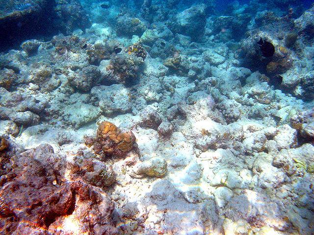 Tote Korallen acht Jahre nach einem El Niño Ereignis am Moofushi Korallenriff bei den Malediven. © Bruno de Giusti. CC BY-SA 2.5 IT. Wikimedia Commons.