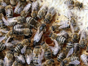 Bienenkönigin mit ihrem Hofsaat. © Waugsberg. CC BY-SA 3.0.