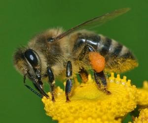 Weibliche Honigbiene. Die Arbeiterinnen sammeln den Nektar für ihr Volk. © Andreas Trepte. CC BY-SA 2.5.