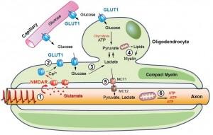 Schematische Darstellung eines Oligodendrozyten, der ein Axon myelinisiert. Der Neurotransmitter Glutamat, von Axonen freigesetzt, bindet an NMDA-Rezeptoren und aktiviert dadurch Glukosetransporter. Der Einstrom von Glukose in Oligodendrozyten führt zur Bildung von Milchsäure (Laktat), die an das Axon abgegeben wird und zur Energieproduktion (ATP) dient. © Saab et al., 2016