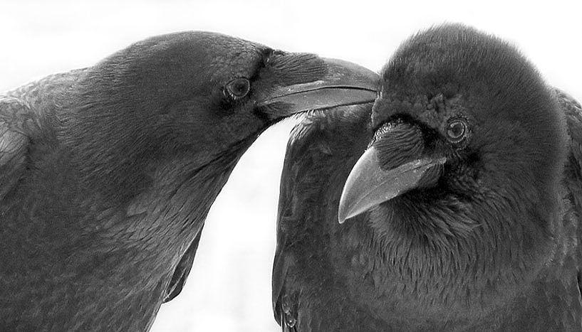 Die gegenseitige Gefiederpflege dient Raben dazu enge soziale Beziehungen aufzubauen und zu erhalten. © Ipek G. Kulahci.