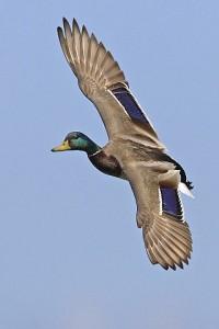 Das in einer Fluggruppe von Enten außen fliegende Tier hält das äußere Auge immer offenund damit die entsprechende Hirnhälfte während dem Schlaf aktiv. © Alan D. Wilson. Wikimedia Commons.