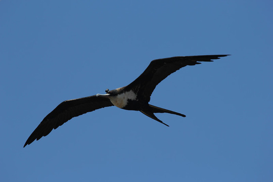 Fregattvogel erreichen eine Flügelspannweite von über zwei Metern. Sie sind hervorragende Flieger und können mehrere hundert Kilometer am Tag zurücklegen. © B. Voirin