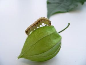 """Die Mottenart Heliothis subflexa hat sich auf Physalis-Pflanzen spezialisiert. Hier erklimmt eine Raupe den laternenförmigen Blütenkelch, in deren Innern sich die Frucht befruchtet. Innerhalb des """"Lampions"""" ist sie vor Feinden geschützt. Darüber hinaus wirken die in der Frucht enthaltenen Withanolide antibakteriell und kurbeln das Immunsystem der Raupen an. © MPI f. chemische Ökologie/ A. Barthel"""