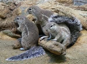 Borstenhörnchen sind gesellgie Tiere, die in Kolonien leben. © BS Thurner Hof. CC BY-SA 3.0. Wikimedia Commons.