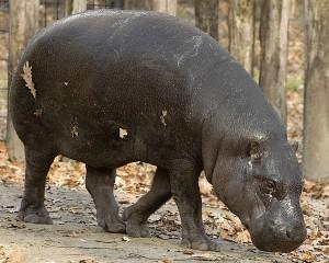 In Liberia ist das Zwergflusspferd von der Ausrottung durch Wilderer bedroht. © Tommy. CC BY 2.0. Wikimedia Commons.