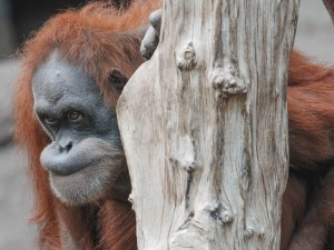 Orang-Utan Dokana im Zoo Leipzig. © MPI f. evolutionäre Anthropologie