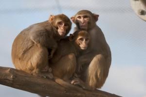 Rhesusaffen im Freigehege des Deutschen Primatenzentrums Foto: Anton Säckl. Deutsches Primatenzentrum.
