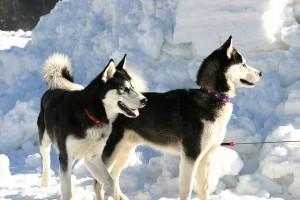 Huskies verfügen nur über zwei Amy2B Amylasegene, denn ihre Menschen blieben ihrem Jäger und Sammlerleben treu. © Germaniac2. CC BY-SA 3.0.