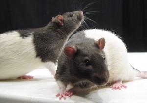 Ratten lassen sich ausgesprochen geren kitzeln. © Jason Snyder. CC BY 2.0.