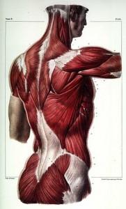 Unser Rücken besteht nicht nur aus Wirbeln sondern vor allem auch aus zahlreichen Muskeln. Bei unserer meist sessilen (sitzenden) Lebensweise verkümmern diese Muskeln leicht, was sich in Rückenschmerzen äußert. Statt bei Rückenschmerzen zum Arzt zu gehen wäre es daher für die meisten Betroffenen sinnvoller, sich zu bewegen, um ihre Rückenmuskeln zu trainieren. © gemeinfrei Wikimedia Commons.