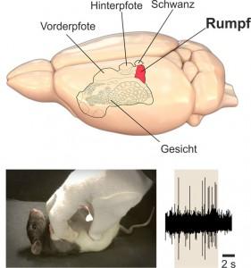 Oben: Gehirn der Ratte mit somatosensorischem Kortex; Rot: Rumpfregion. Unten links: Kitzeln am Bauch der Ratte. Unten rechts: Hirnaktivität in der Rumpfregion des Somatosensorischem Kortex beim Kitzeln (beige unterlegt) © Ishiyama & Brecht