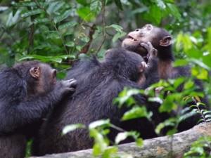 Männchen der Süd-Gruppe im Taï Nationalpark (Elfenbeinküste) bei der gegenseitigen Fellpflege. © Roman Wittig, Taï Chimpanzee Project