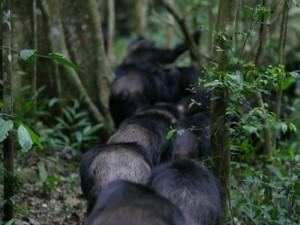 "Männchen der Ngogo-Gruppe im Kibale Nationalpark (Uganda) auf ""Grenzpatrouille"". © Kevin Langergraber, Ngogo Chimpanzee Project"