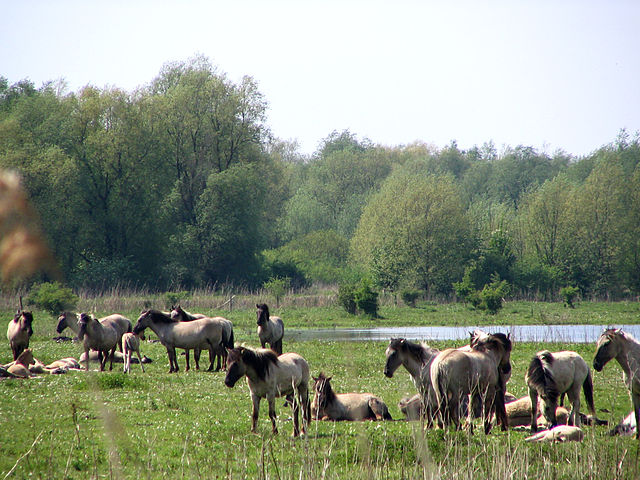Oostvaardersplassen: ein Naturentwicklungsgebiet unweit von Amsterdam. © GerardM. CC BY-SA 3.0. Wikimedia Commons.